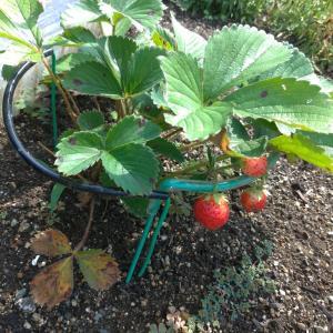 イチゴを収穫しました