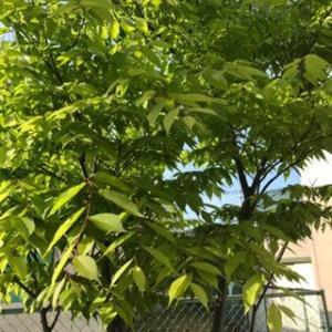 庭のケヤキの木と、イングリッシュローズに蕾