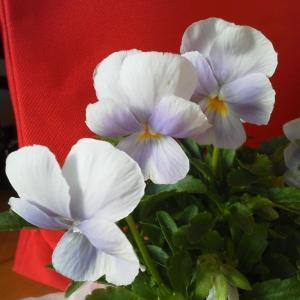 お迎えした激安お花~前庭とミルフル