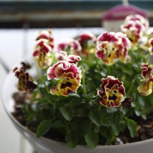 見元園芸さんのオリジナルビオラ~前庭のイルミ