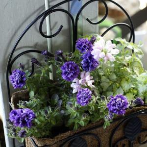 お迎えしたお花~早速植えました