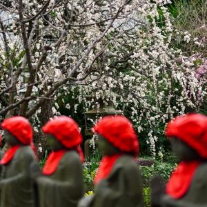 梅に鶯、ならぬ・・【常立寺】梅満開、紅白梅にやってきたメジロ
