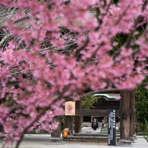 法話と桜と【建長寺】三門越しの桜を見ながらの法話を聞く1年越しの「土曜日と桜と」