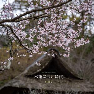 木蓮に会いに(1)【東慶寺】白木蓮が美しいと聞いて出かけてみた