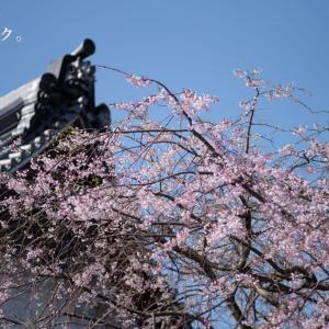 サクラサク。【本覚寺】枝垂れ桜は連日の強風に耐えていてくれた