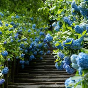 紫陽花物語2020【明月院】アフターコロナの明月院ブルー