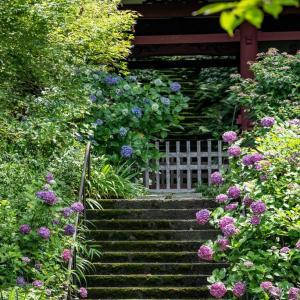 紫陽花物語2020【妙法寺】松葉谷に咲き誇る四葩たち