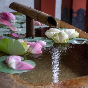 紫陽花から蓮へ【鶴岡八幡宮】手水舎にみる季節の移ろい