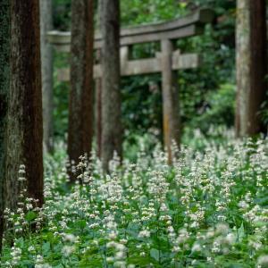 藪ミョウガを再訪【熊野神社】杜に広がる白い実の輝き