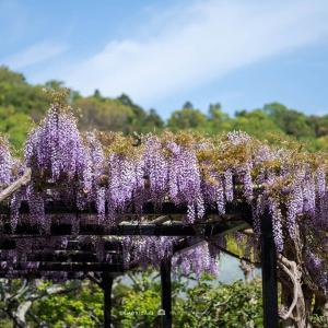 風薫る【光触寺】鎌倉の東、光触寺さんの藤が綺麗です