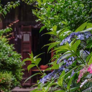 雨・四葩の頃【瑞泉寺】さみだれの鎌倉