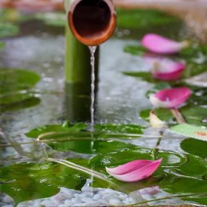 七夕の杜【鶴岡八幡宮】紫陽花から蓮へ、季節は巡る