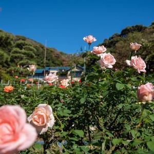 霜降の候【鎌倉文学館】秋の薔薇と『芥川龍之介と鎌倉』と