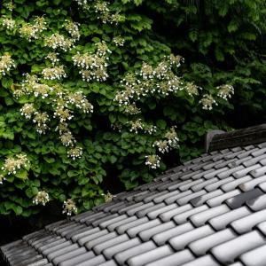 芒種の候【東慶寺】イワガラミ特別公開など見どころ一杯の境内