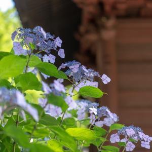 紫陽花便り【妙本寺】梅雨の晴れ間、透けたガクが美しい