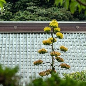 気高い貴婦人【青蓮寺】今年も鎌倉で見られた竜舌蘭