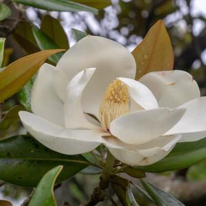 鎌倉時間【浄光明寺】時期は少し過ぎていたけど泰山木を訪ねた