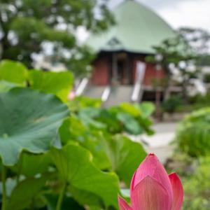 大暑蓮観【本覚寺】青空が、カラッとした暑さが、待ち遠しい。