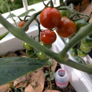 2020年ミニトマト初収穫。味見してみました。