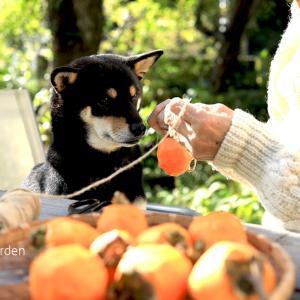 「鳥にも一つ残してあげよう、穏やかな秋の日に愛犬と一緒に手作り干し柿 」