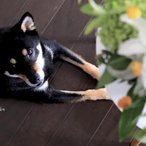 """我が家の愛犬 黒柴""""あん"""" 本当は""""あんみつ姫"""" 名前を付けるときのエピソード。"""
