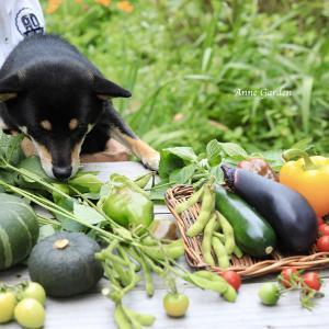 For Dog ! 収穫した夏野菜でラタトゥイユ風に。あんの夏ごはん
