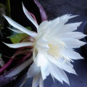 千年に1度しか咲かない花