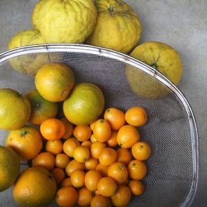 柑橘系を収穫♪
