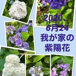 絵手紙 紫陽花満開