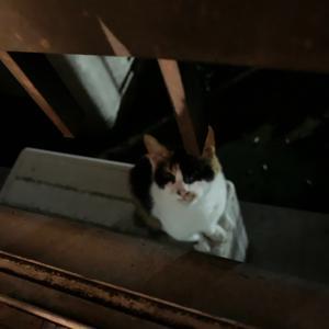 見回り猫 まりちゃん