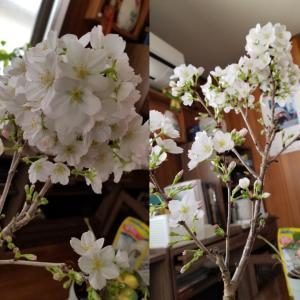 実家の桜の盆栽
