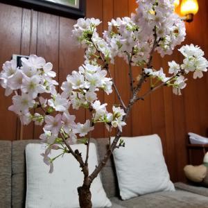 満開です!桜の盆栽
