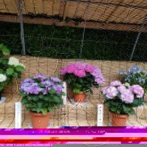 なばなの里 紫陽花