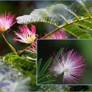 合歓の花 fu