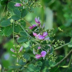 萩の花 fu