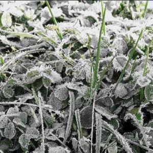 霜の朝 fu