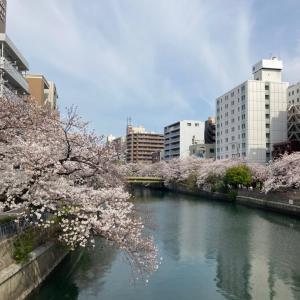 今年のお花見は横浜で。