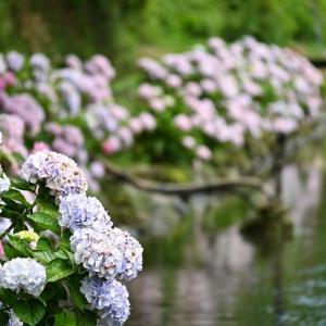 波川ポタ(その2)/紫陽花
