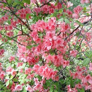 しょぼい(私感)芝桜。