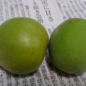 【作物】梅が採れました
