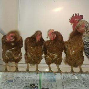 【我が家族】豚VS鶏/我が家の動物強さランキング:4