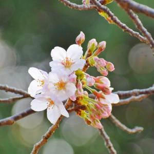 ふんわり優しい桜のように♪