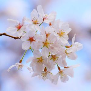 福岡の桜は満開日♪