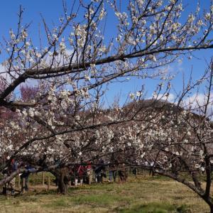 梅を楽しんで(#^.^#)