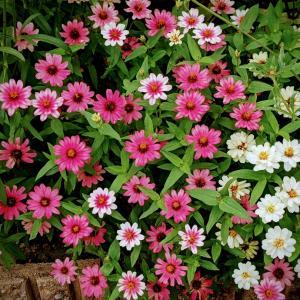 久々に登場 庭の花たち