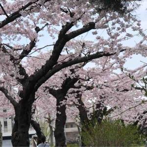 ◆今年の桜はスペシャル