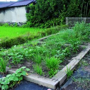 160803 5坪菜園の様子