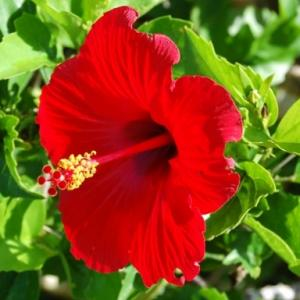 ハイビスカスは夏の花