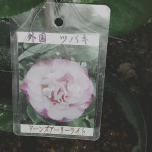 外国椿 1円でゲット〜