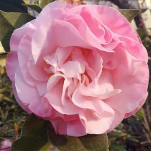 薔薇咲き椿の美しさ